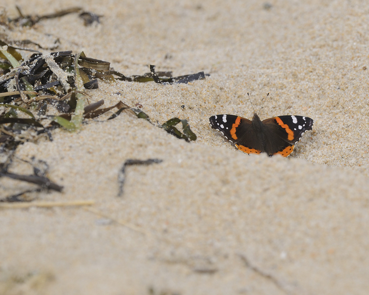 Ninigret Conservation Area - Butterfly on Beach