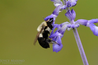Bumble Bee on purple Salvia -- DSC_1059