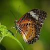 Leopard Lacewing - Butterfly Wonderland - 28 Mar 2014