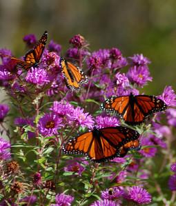 Butterflies_2006-10-08_42