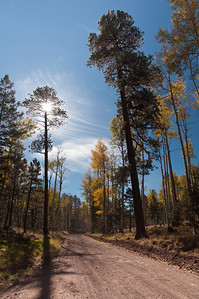 Ponderosa Pines are interspersed between Aspen and other tall trees.