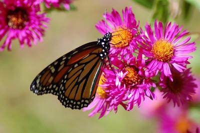 Butterflies_2006-10-08_33