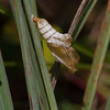 Viceroy chrysalis - August 26, 2012