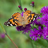 Painted Lady on Ironweed - Kitty Todd- September 5, 2010