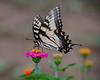 Swallowtail Butterfly on Zinnia<br /> Double Rock Garden