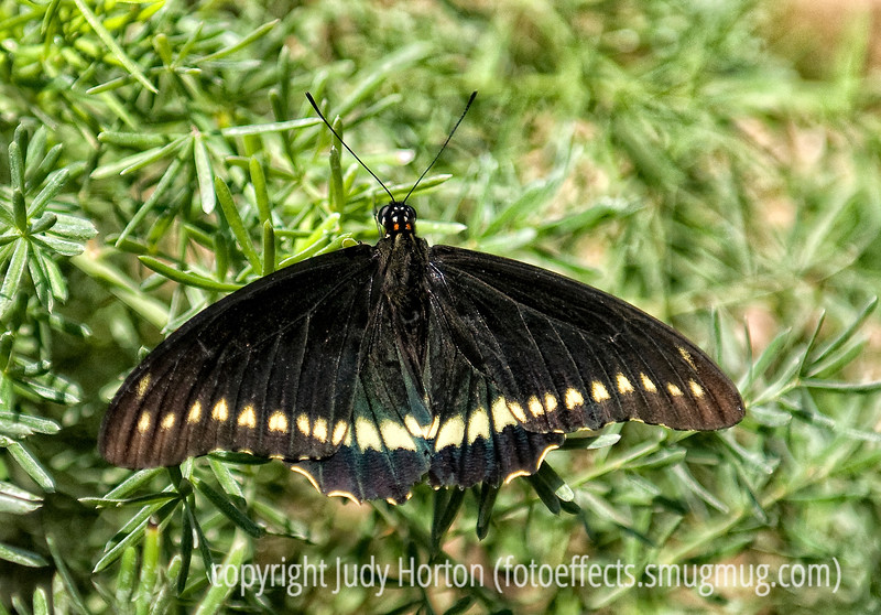 Gold Rim Swallowtail (thanks to Rick for the ID)