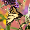 Butterfly - Ipswich River Wildlife Sanctuary
