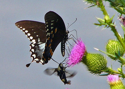 Spicebush Swallowtail and Hummingbird Moth