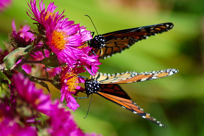 Butterflies_2006-10-08_24