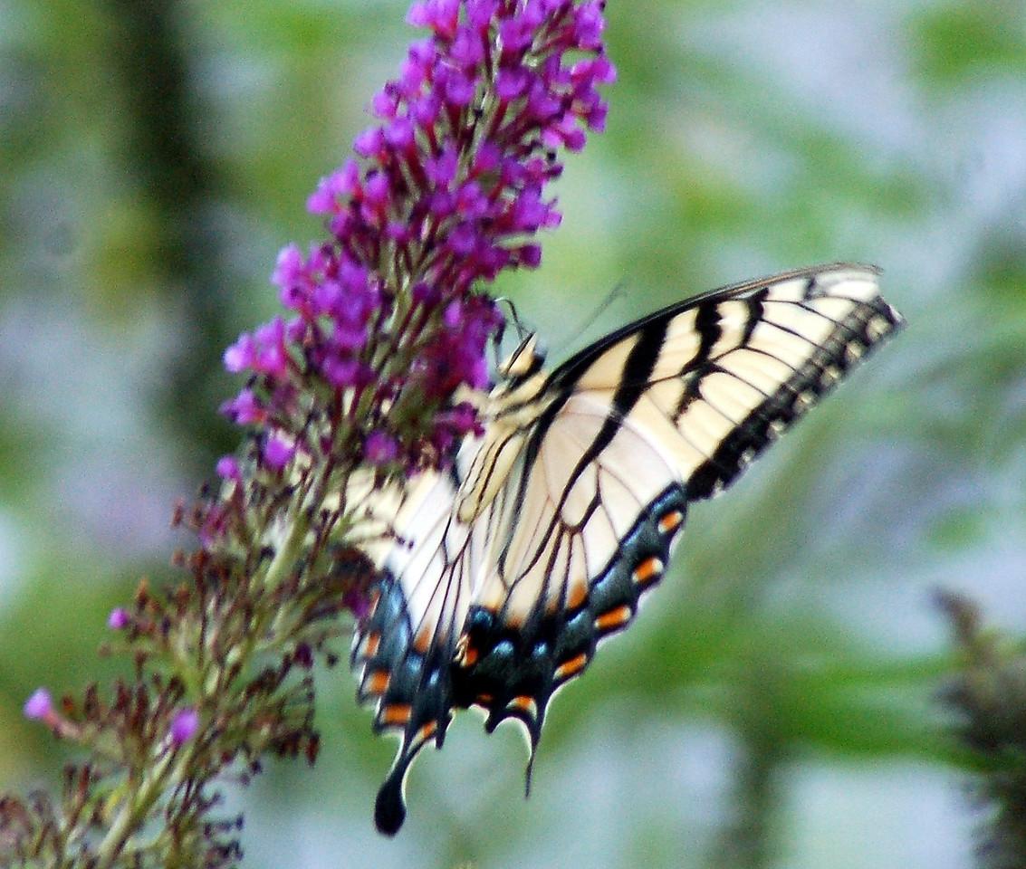Backyard Butterfly 7-08-44
