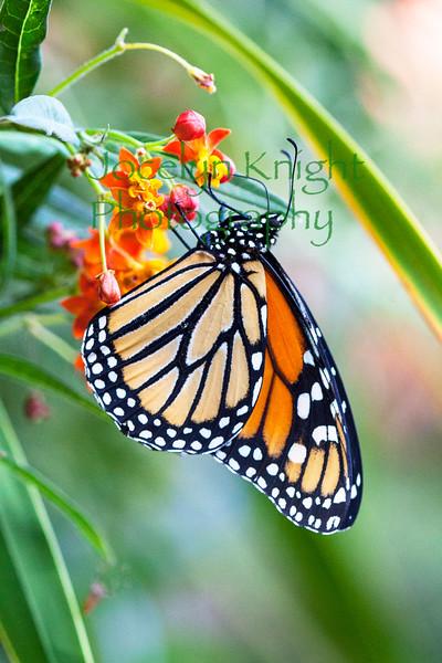 Monarch5624