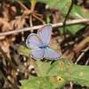 Ceraunus Blue (Hemiargus ceraunus)  La Chua Trail Paynes Prairie