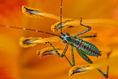 Stamen Stouper - Katydid Nymph inside a Tiger Lily