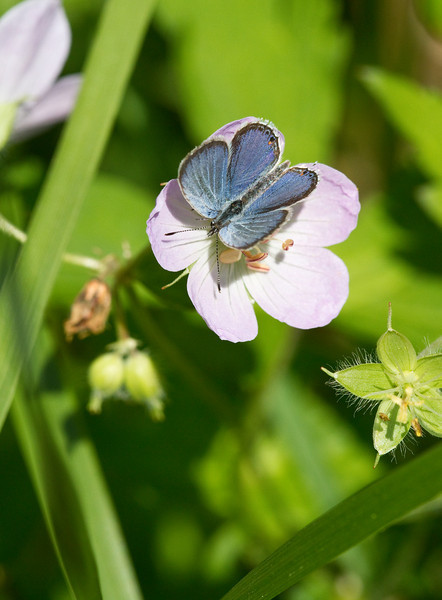 Eastern-tailed Blue - Shawnee State Forest - April 30, 2011