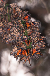 Grove of Monarch Butterflies