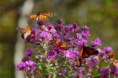 Butterflies_2006-10-08_37