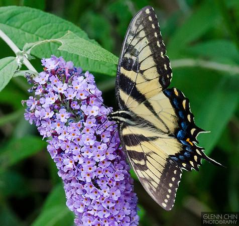 20130817_Butterflies_206