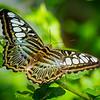 Blue Clipper - Butterfly Wonderland - 20 Nov 2020