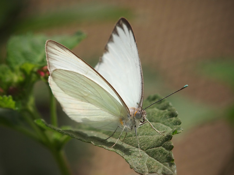 Great Southern White (female) at Pavilion of Wings - 2 June 2012