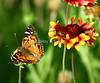 Virginia lady butterfly