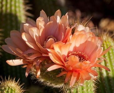 Coral Cactus Blooms