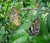 Atlas moth left and paper kite right, share a tree.