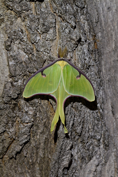 Luna Moth - Shawnee State Park - April 30, 2011