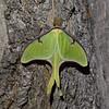 Luna Moth - Shawnee State Park - April 30, 2011