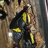 Butterfly Maternity - escaping the Chrysalis<br /> Birdwing, Troides rhadamantus