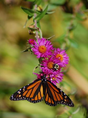 Butterflies_2006-10-08_11