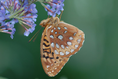 Great Spangled Fritillary Speyeria cybele