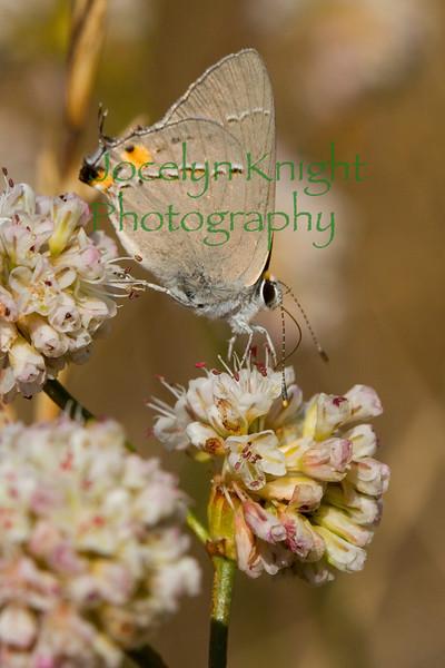 Grey Hairstreak Butterfly on Tiburon Buckwheat on Ring Mountain Preserve, Tiburon, Calif., on June 28, 2009