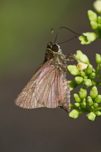 Little Glassywing - July 16, 2011