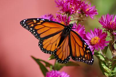 Butterflies_2006-10-08_28