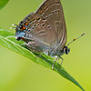 Edwards Hairstreak - June 26, 2011