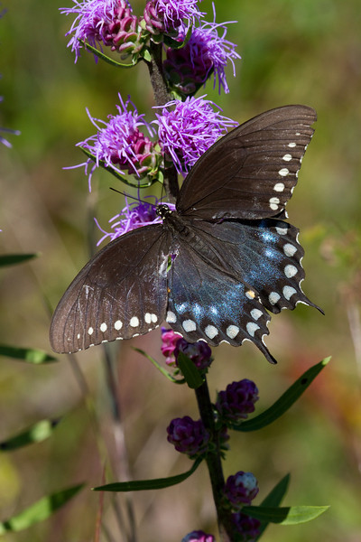 Spicebush Swallowtail - August 28, 2010