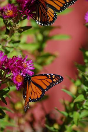 Butterflies_2006-10-08_19