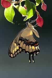 Giant Swallowtail Heraclides cresphontes