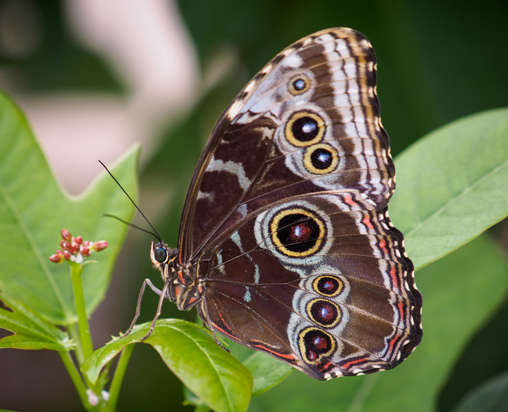 Blue Morpho - Butterfly Wonderland - 28 Mar 2014
