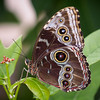 Blue Morpho - Butterfly Wonderland - 28 Mar 2014