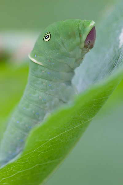 Eastern Tiger Swallowtail caterpillar - July 24, 2011