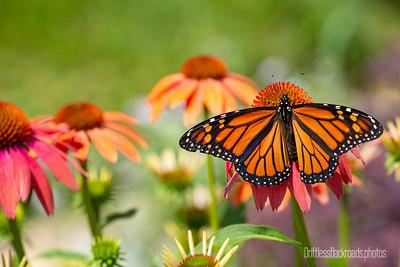 Monarch Sunning