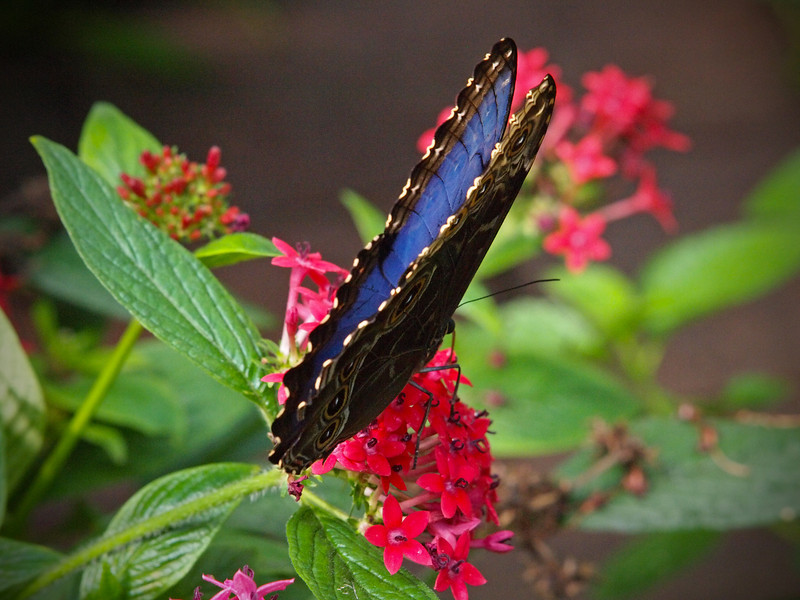 Blue Morpho at The Butterfly Place - 29 Mar 2011