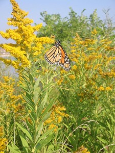 Goldenrod and Monarch Butterfly (Humber Bay Park, Toronto)