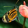Tiger-mimic Queen, or Lycorea cleobaea