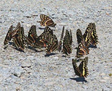 Palamedes Swallowtails