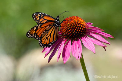 Butterflies/Insects