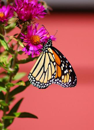 Butterflies_2006-10-08_5