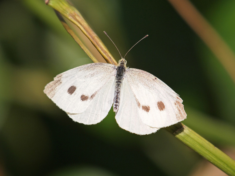 Cabbage White (female) at Pavilion of Wings - 7 Aug 2011