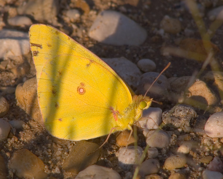 Orange Sulphur {Colias eurytheme}<br /> Plainfield, IL<br /> © WEOttinger, The Wildflower Hunter - All rights reserved<br /> For educational use only - this image, or derivative works, can not be used, published, distributed or sold without written permission of the owner.